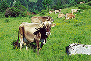 Cows on the lowers slopes of Krn